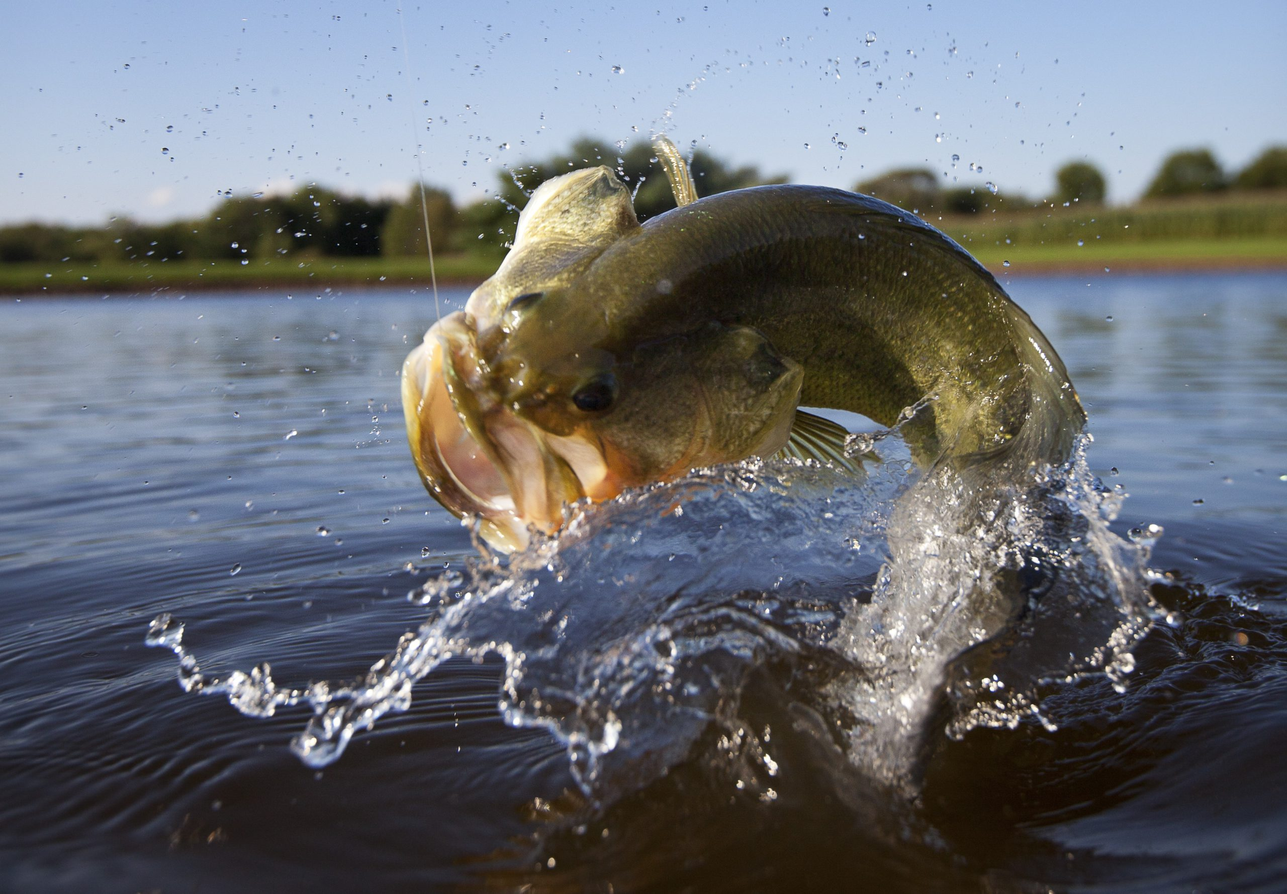 Largemouth bass fishing jumping out of water with hook in its mouth.