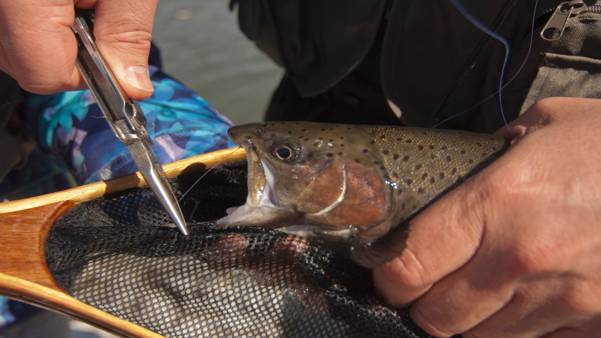 Rainbow trout with a hook being taken out with pliers.