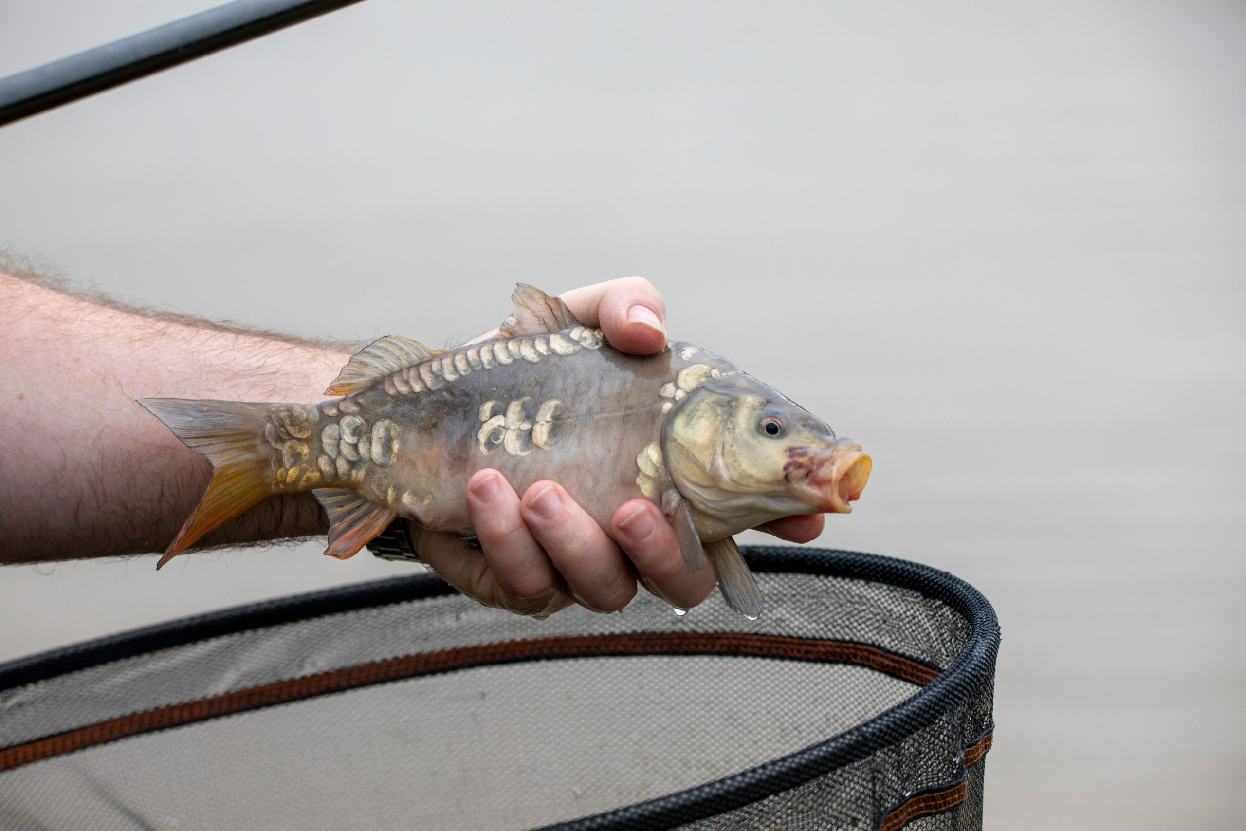 Baby mirror carp being held by an angler in one hand.