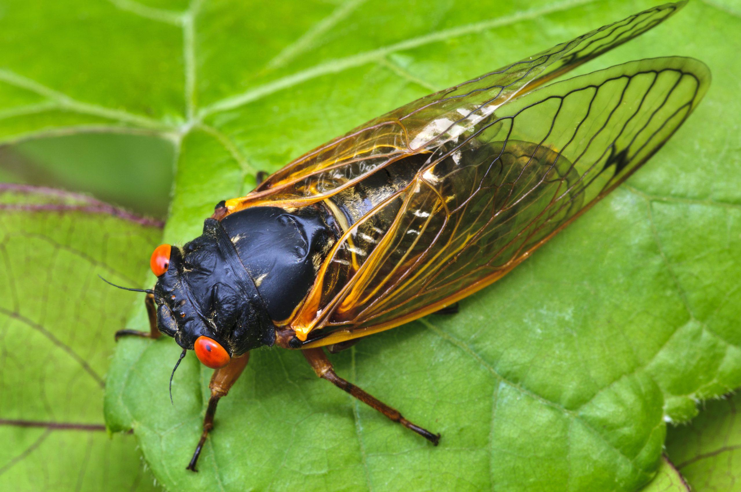 Cicada on a leaf outside.