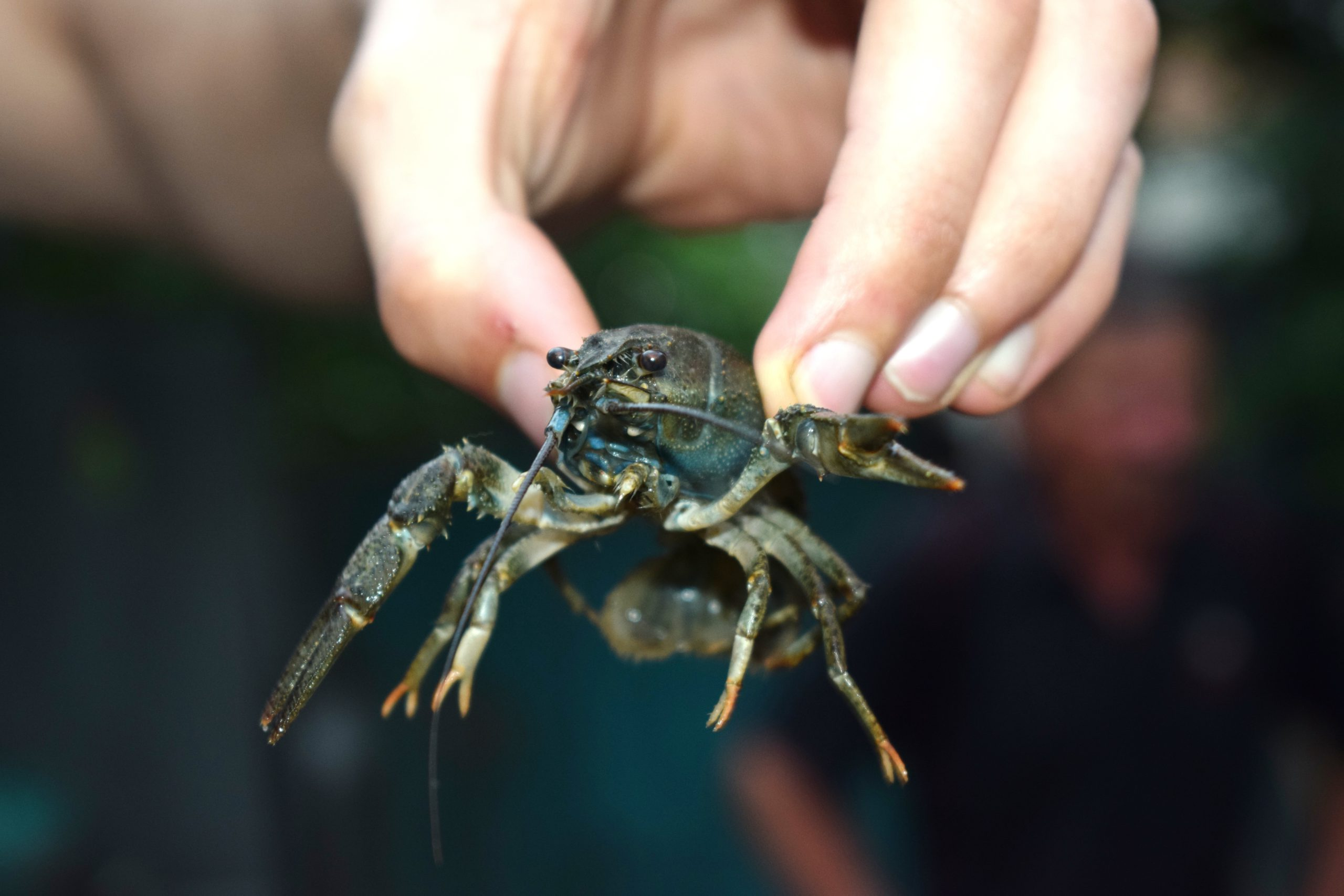 European crayfish in a hand over grass.