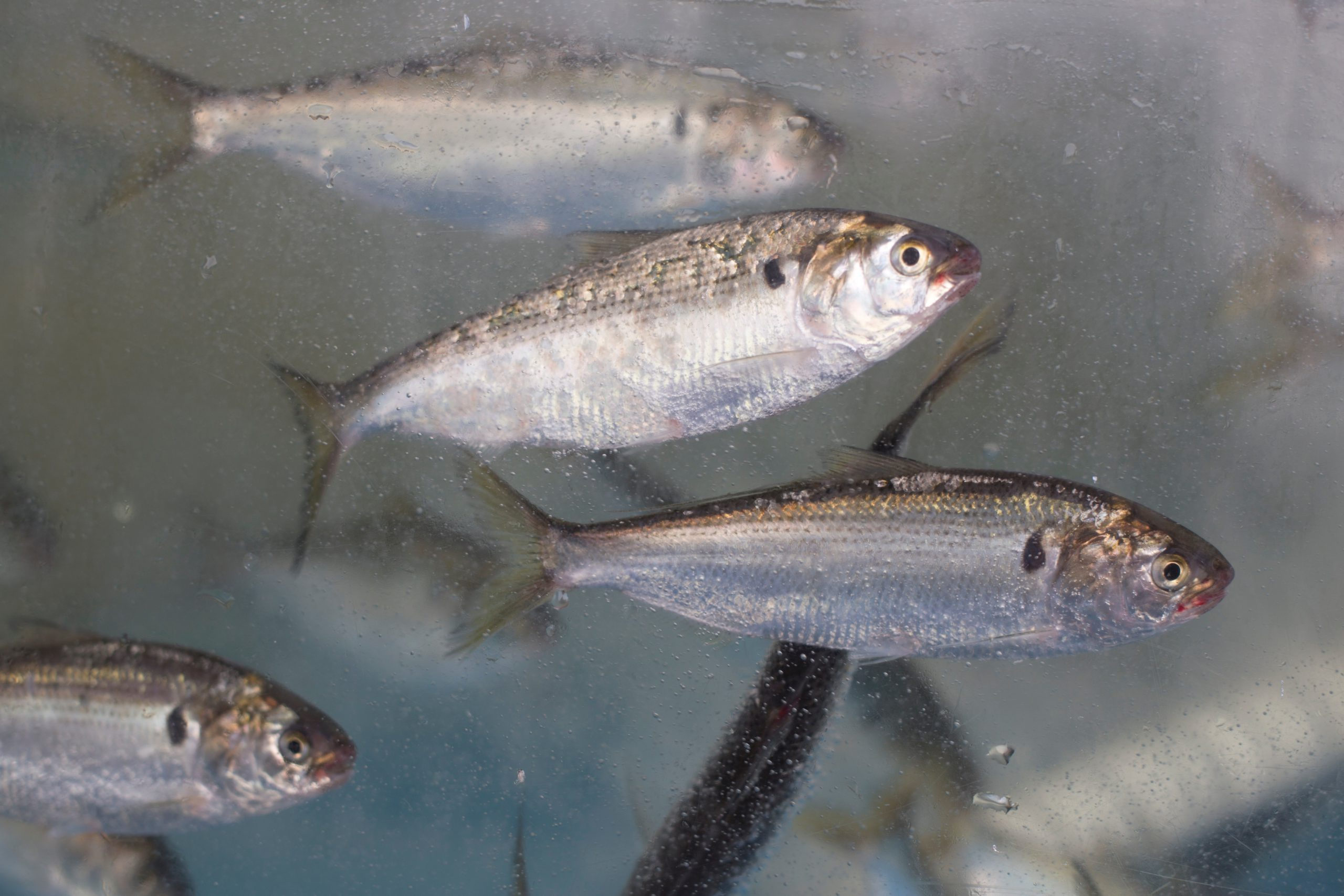 Gizzard shad underwater in a school of fish.