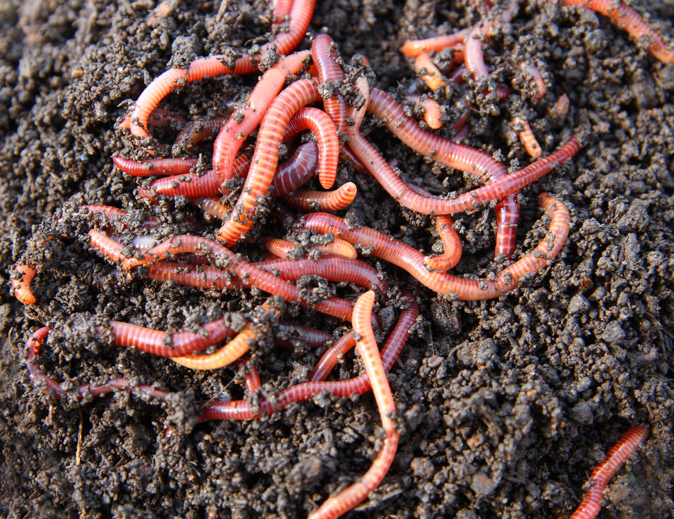 Red worms in a composting pile.