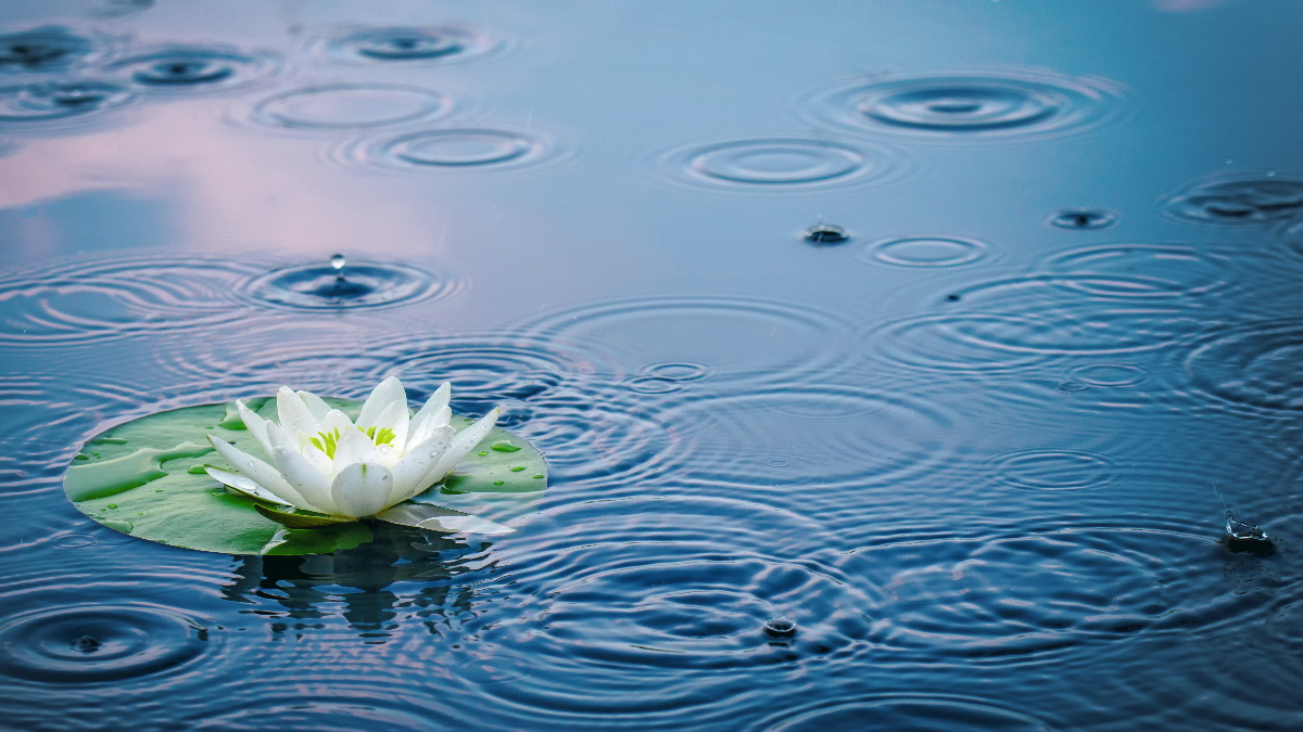 Rain in a clear lake with a water lily.
