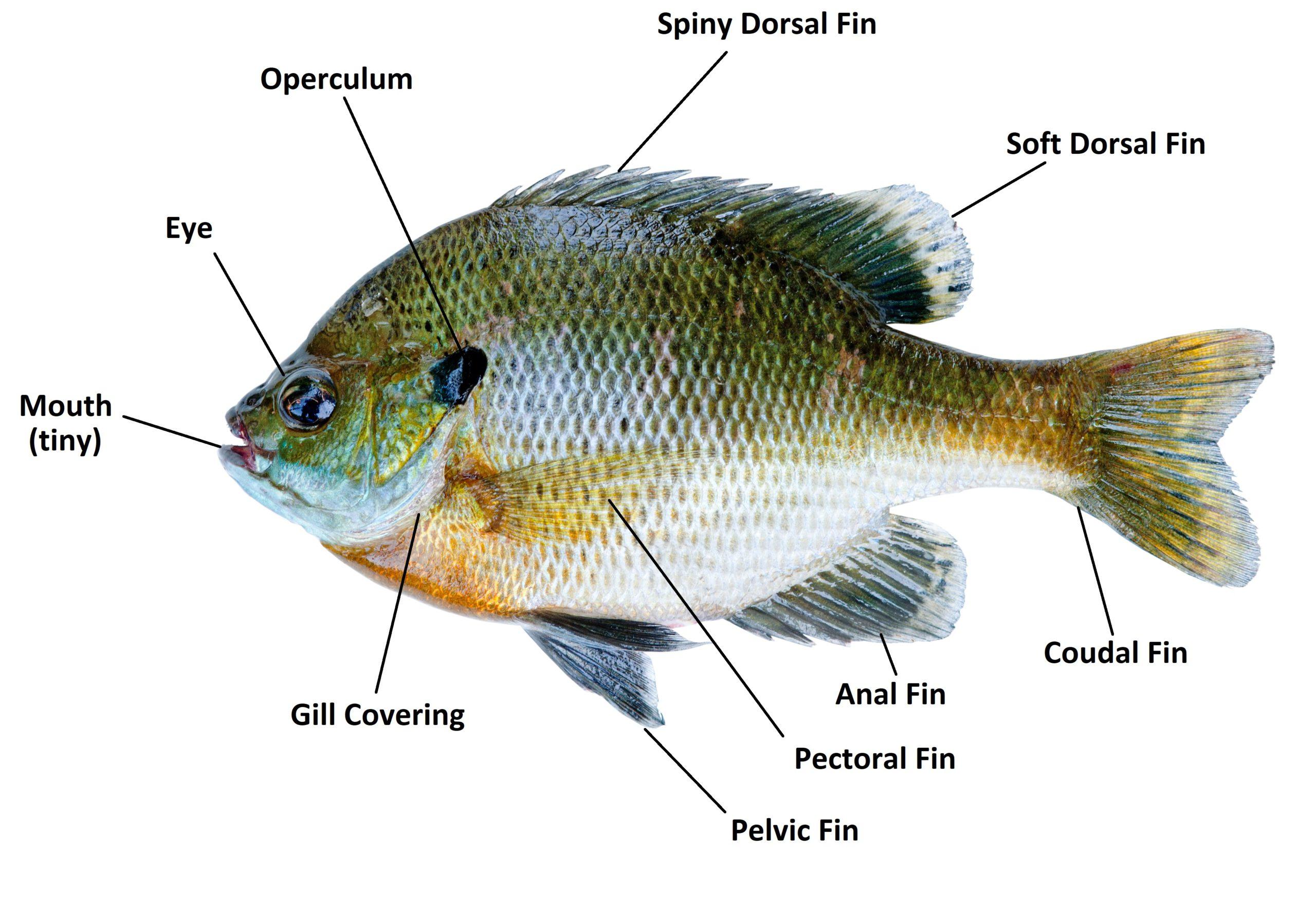Bluegill fish isolated on a white background.