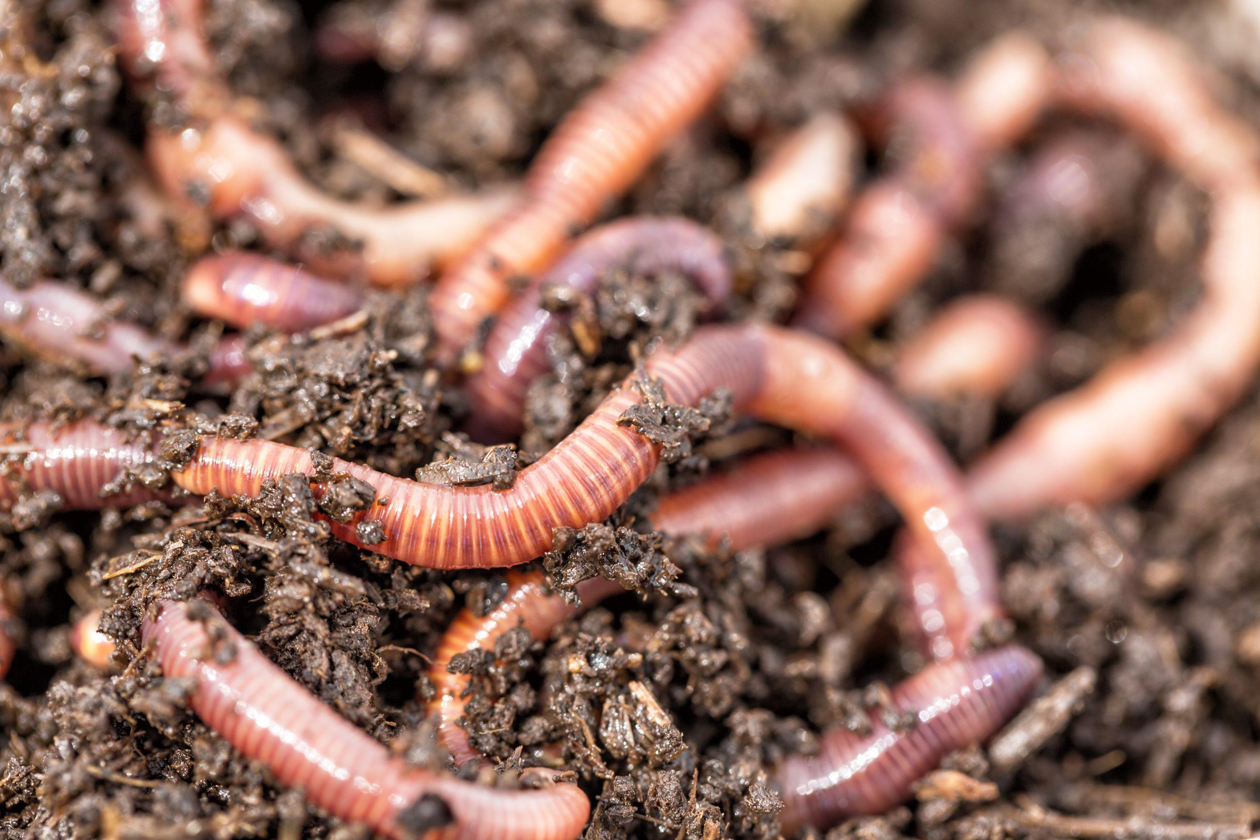 Earthworms inside of a worm habitat.
