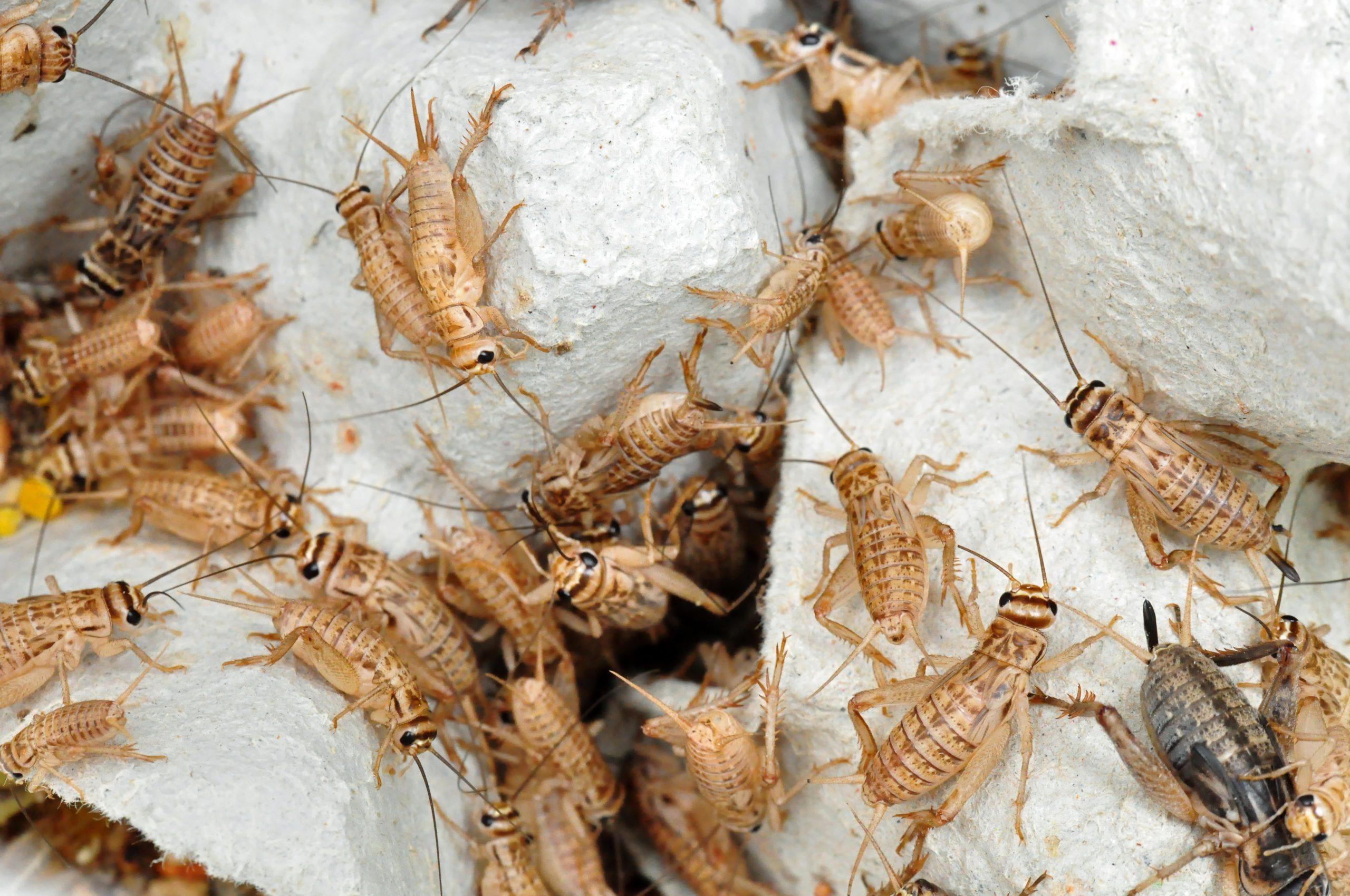 Live crickets inside a cricket habitat.