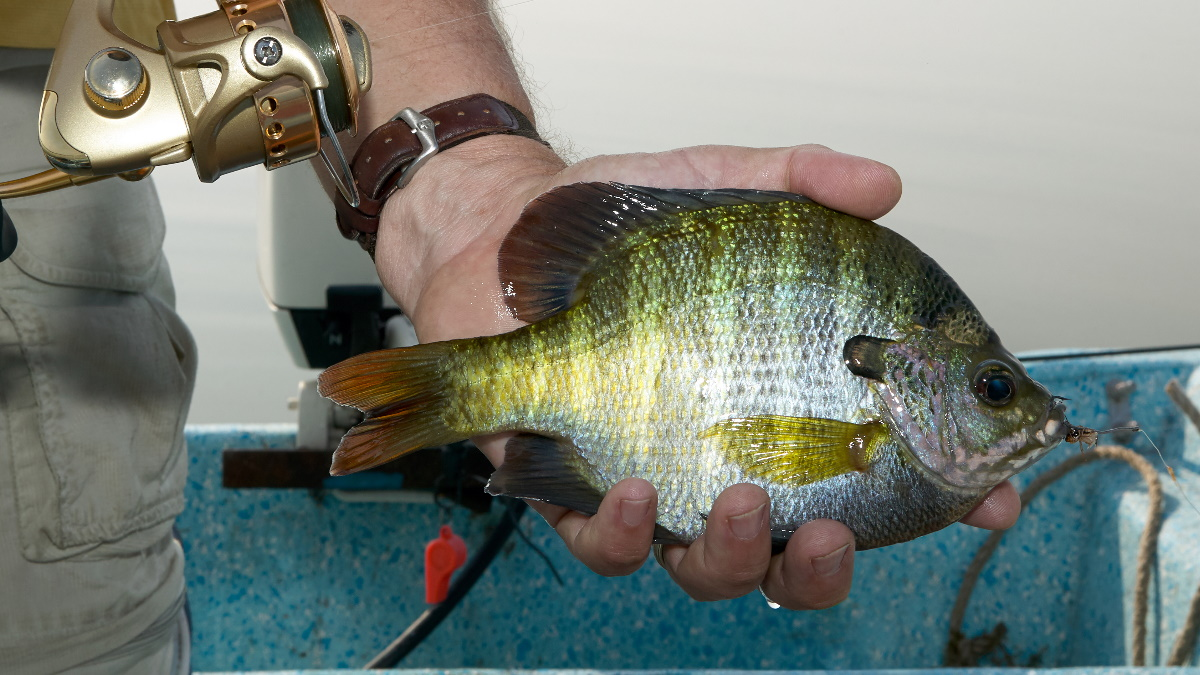 Man with a fishing rod holding onto a bluegill with bait in its mouth.