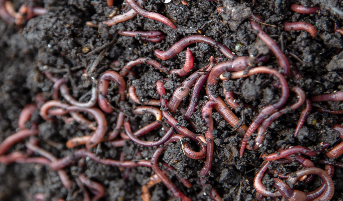 Many earthworms inside of a bedding material consisting of grass, soil, and a lot of peat moss.