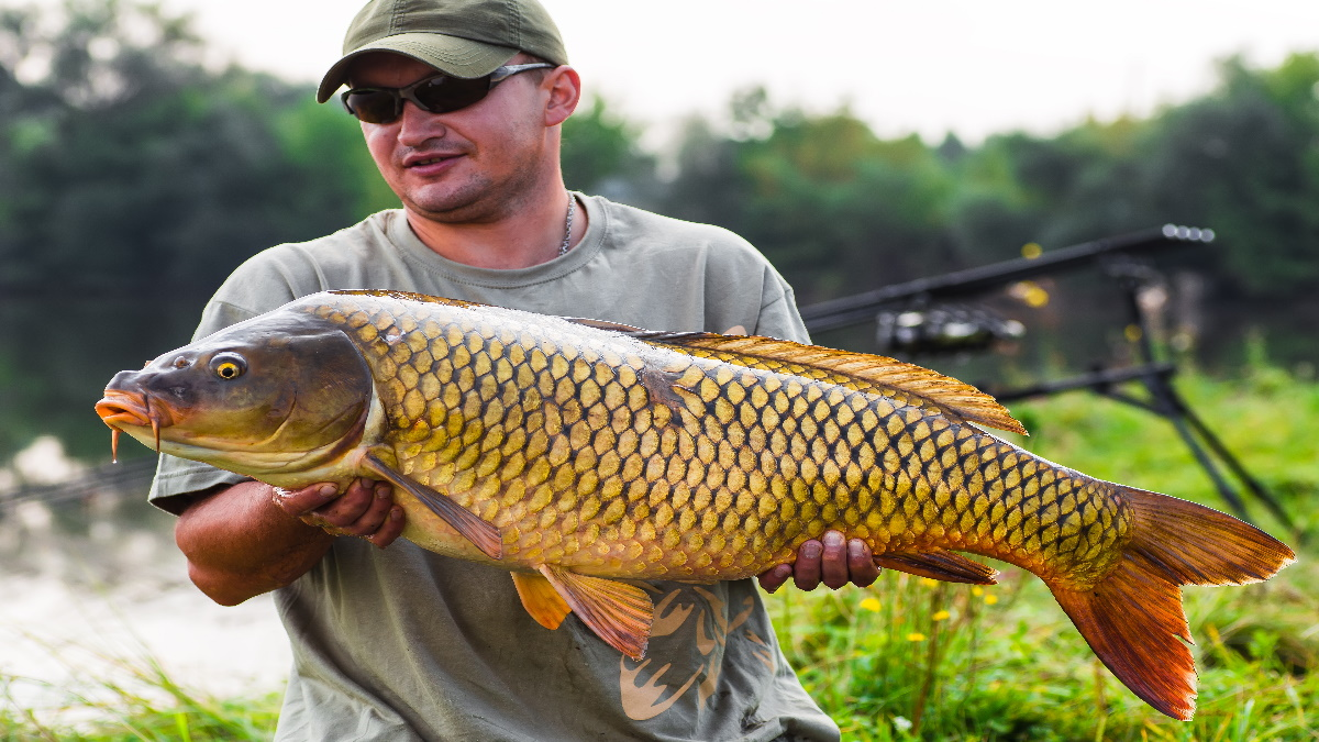 An angler holding a big common carp caught from the bank.