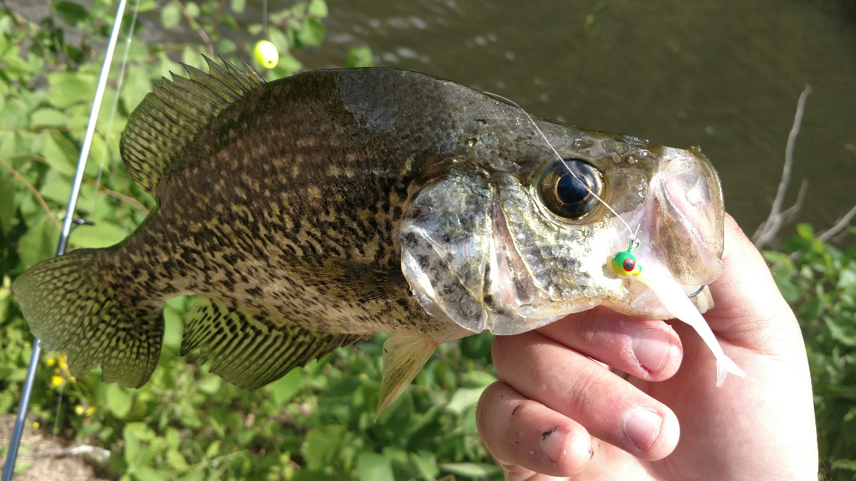 Crappie with a jig in its mouth held by an angler over some water.