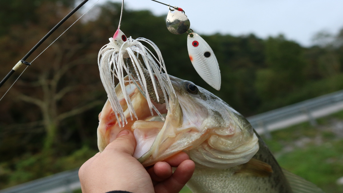 A largemouth bass with a spinnerbait lure in its mouth being held on a boat.