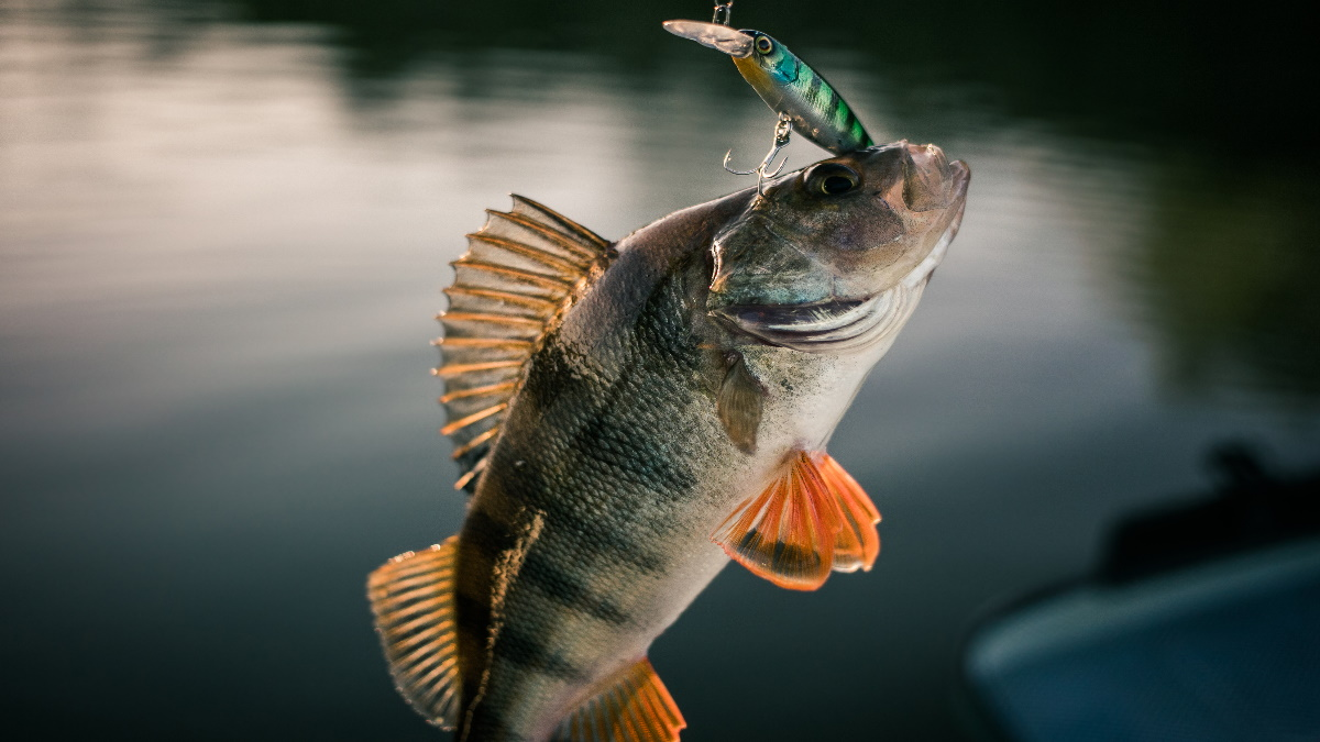 Person holding a yellow perch on a boat in water.