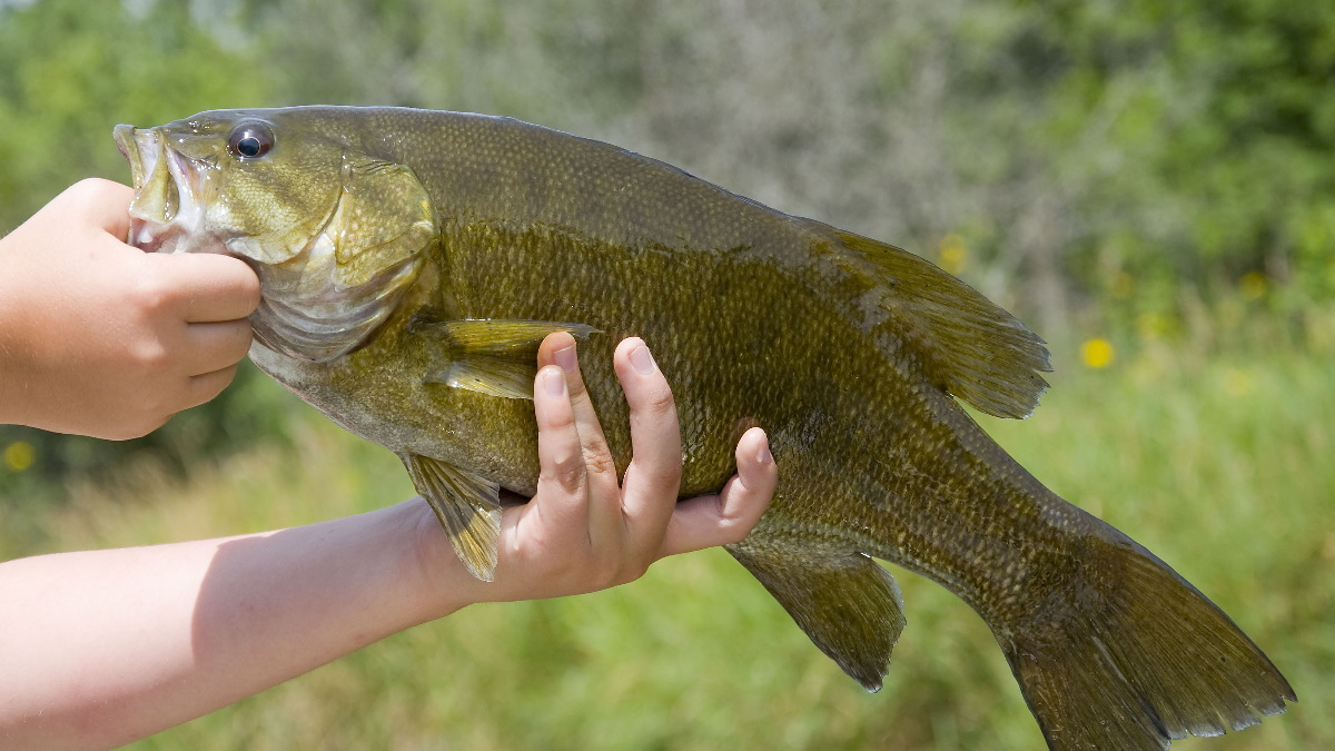 A big smallmouth bass being held by an angler on a boat in water.