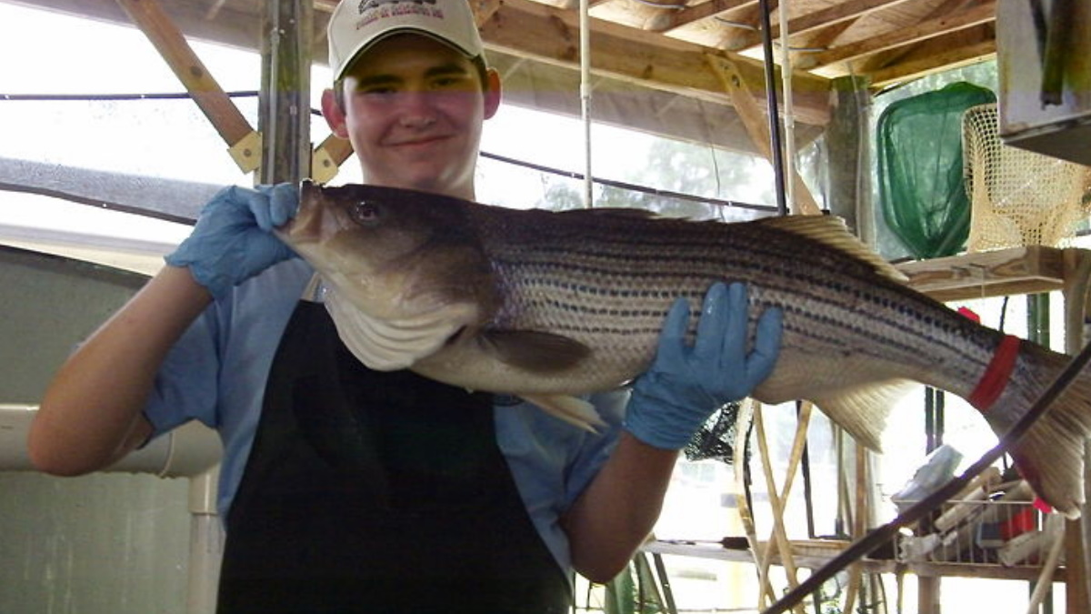 Man holding a huge striped bass fish by the mouth and belly.