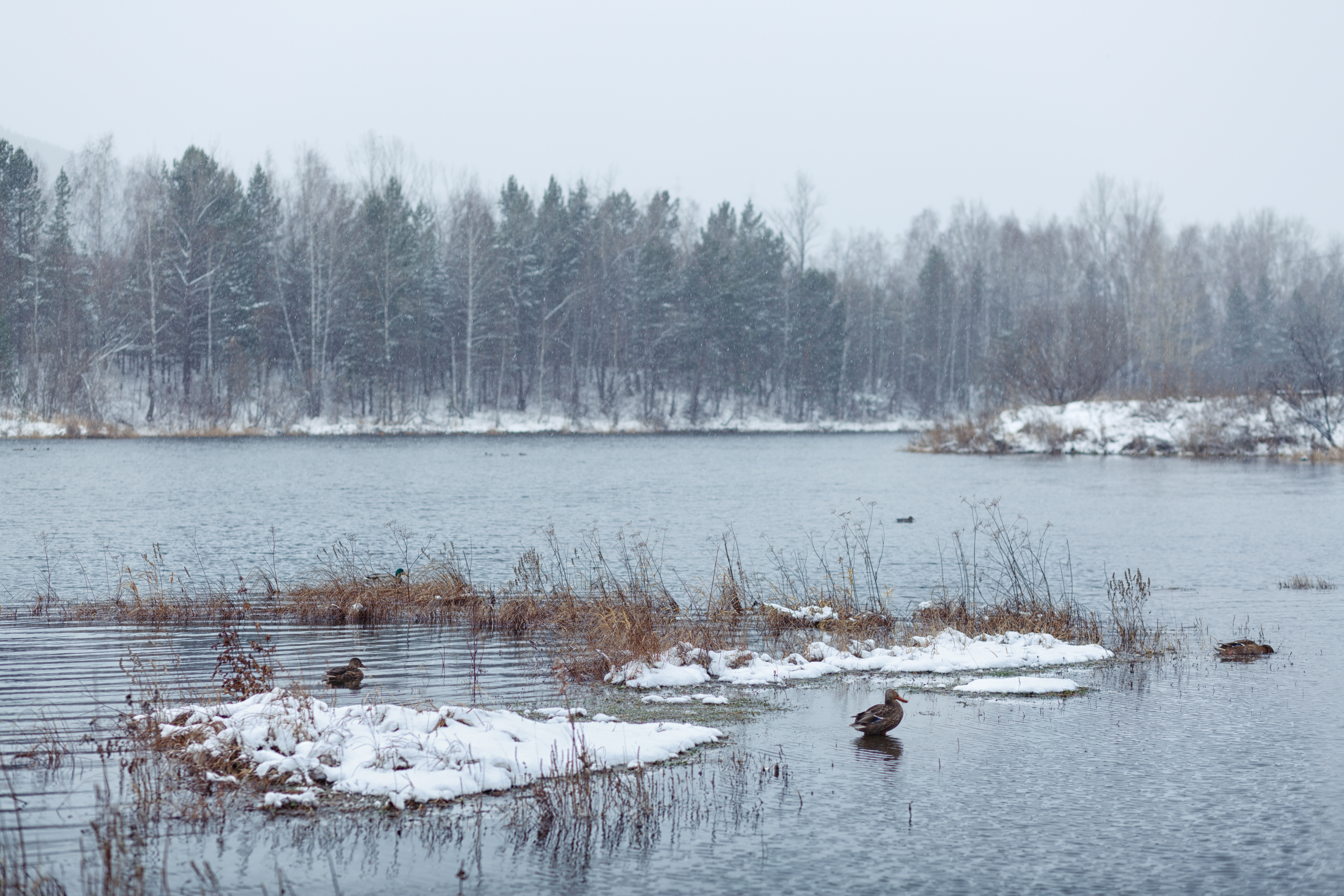 Ducks swimming in water of a snowy pond.