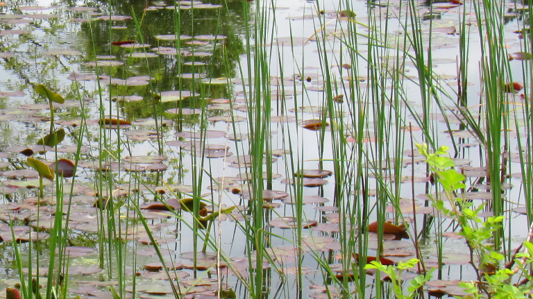 Pond with lily pads, grass, and moss.