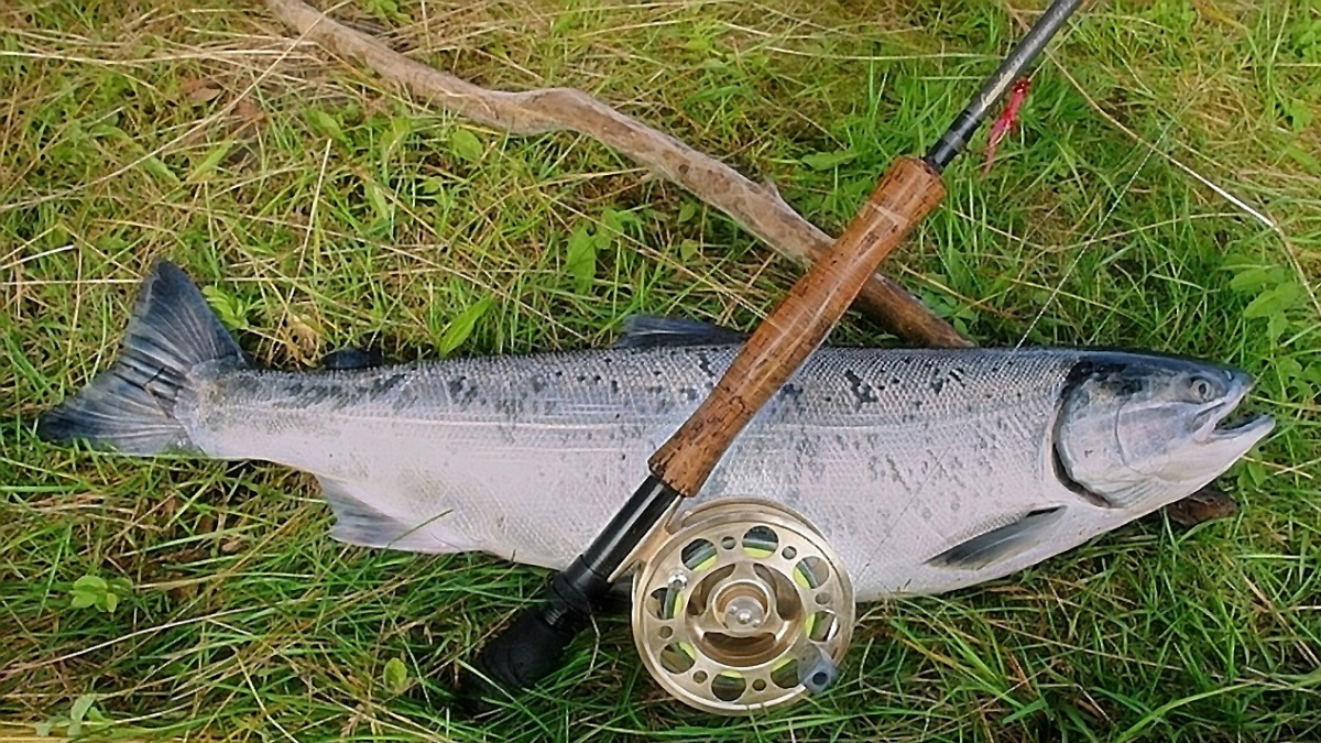 Coho salmon laying on green grass with a fly fishing rod laying on top of it.