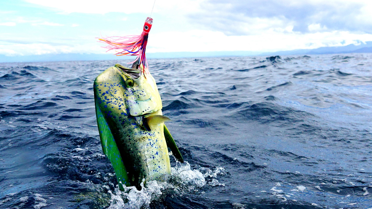 Dorado fish with a fishing lure in its mouth jumping out of the water.