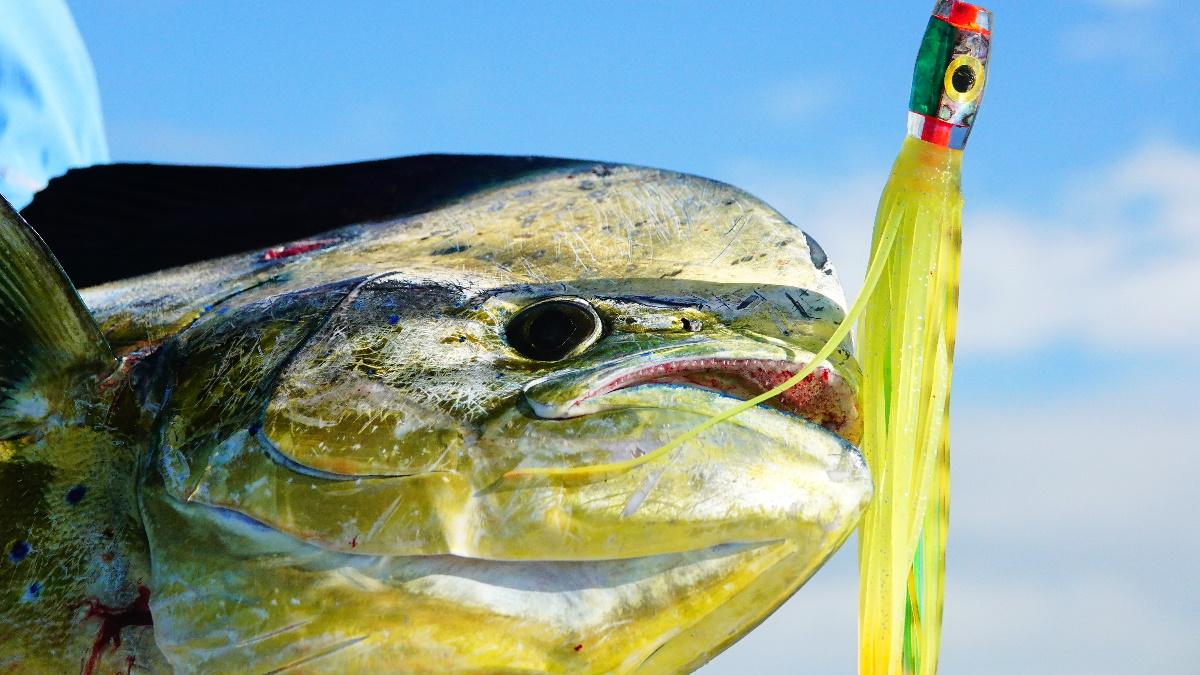 Mahi mahi fish with a squid fishing lure in its mouth.