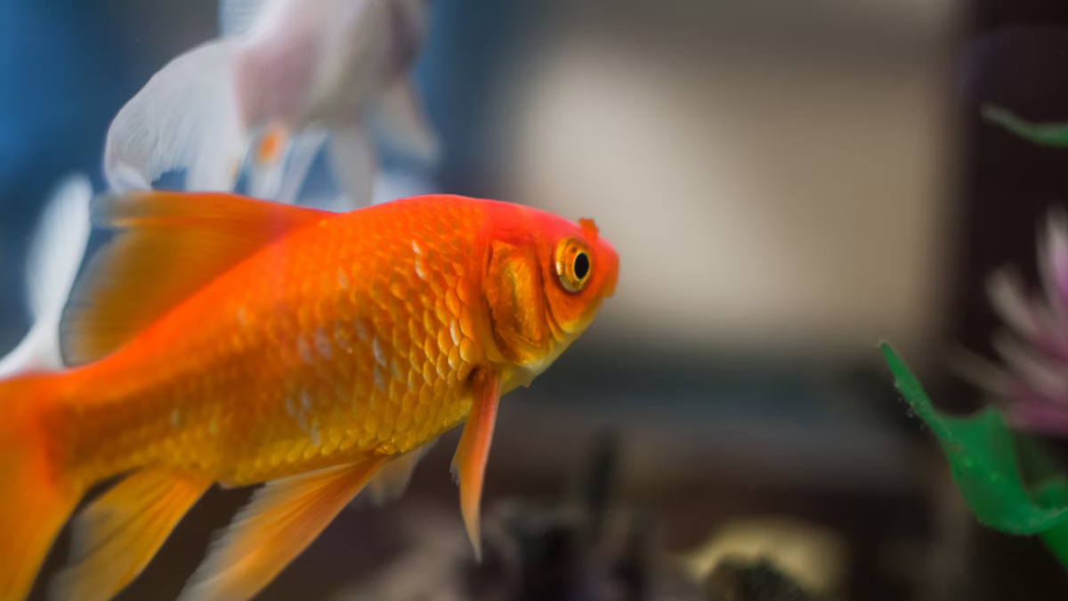 Goldfish inside a fish tank in a room in low light.