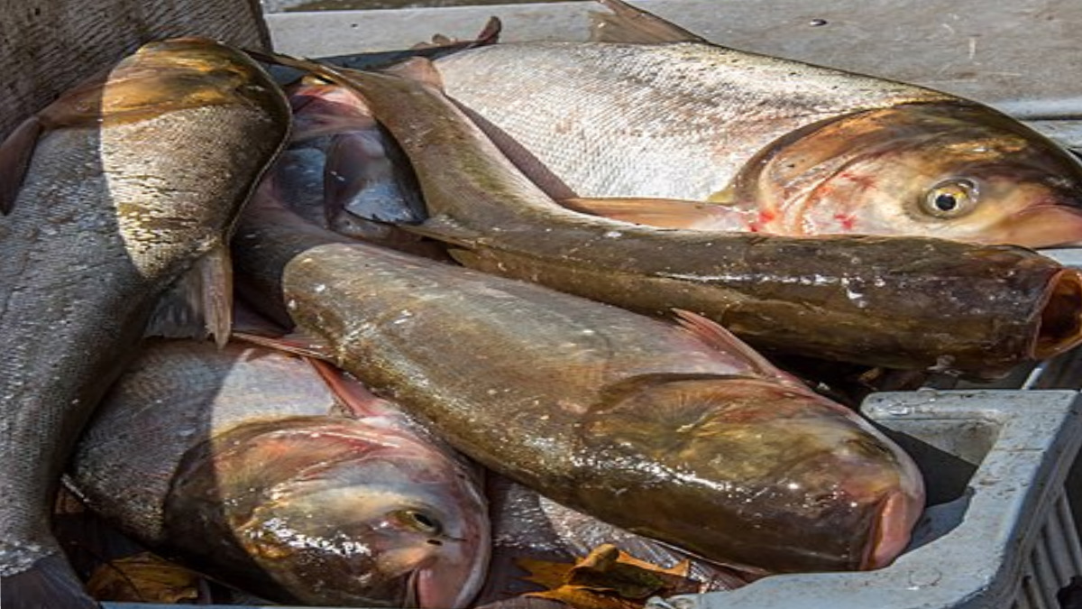 Silver Carp fish laying on a boat in water on a sunny day.